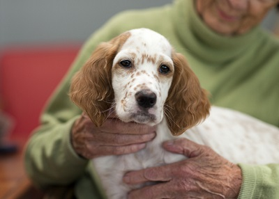 English Setter serving as a dental therapy dog