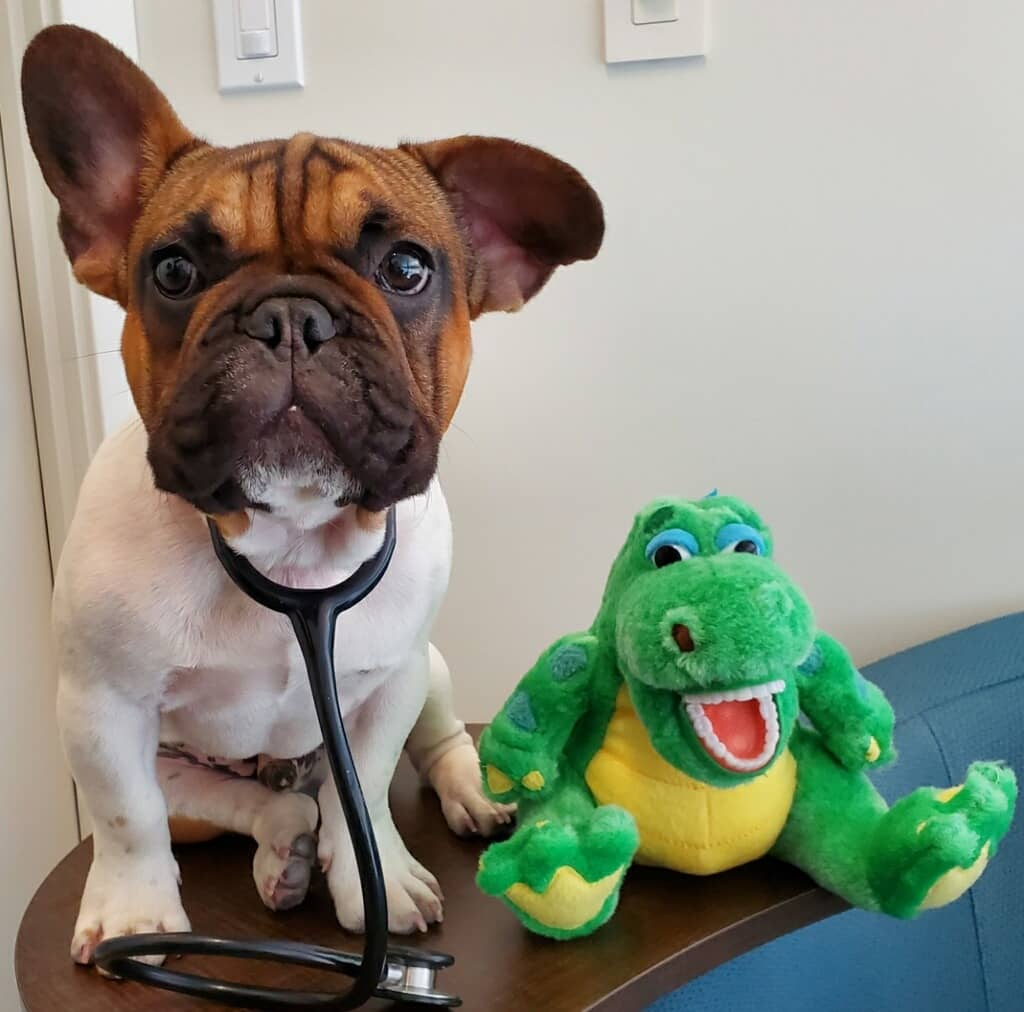Profile picture of our therapy dog Ziggy next to his favorite stuffed toy.